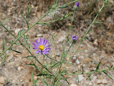 Dieteria canescens - Hoary Tansyaster, Hoary Tansy-aster, Hoary-aster, Purple Aster