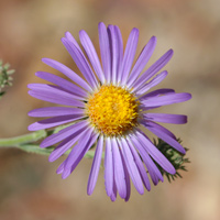 Purple and Blue Flowers - Dieteria canescens – Hoary Tansyaster