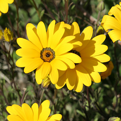 Dimorphotheca sinuata - Glandular Cape Marigold, African Daisy (yellow flowers)