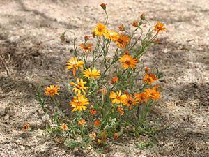 Dimorphotheca sinuata - Glandular Cape Marigold, African Daisy