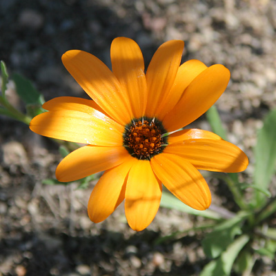 Dimorphotheca sinuata - Glandular Cape Marigold, African Daisy (orange flower)