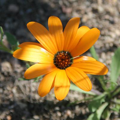 Dimorphotheca sinuata - Glandular Cape Marigold, African Daisy (orange flower)