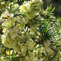 Inconspicuous Flowers - Dodonaea viscosa – Florida Hopbush