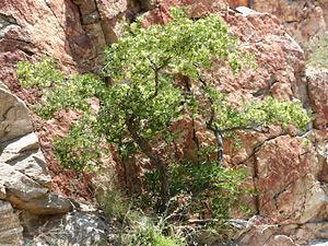 Dodonaea viscosa - Florida Hopbush, Hopbush, Keys Hopbush