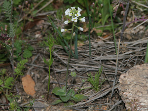 Draba cuneifolia - Wedgeleaf Draba, Wedge-leaf Draba, Whitlow Grass, Wedge-leaf Whitlow-grass, Wedge-leaved Whitlow-grass