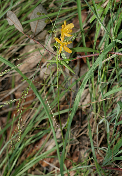 Echeandia flavescens - Torrey's Craglily, Crag Lily, Amberlily