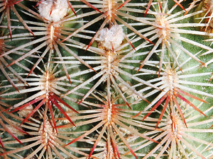 Echinocereus rigidissimus - Rainbow Hedgehog Cactus, Rainbow Cactus (spines)