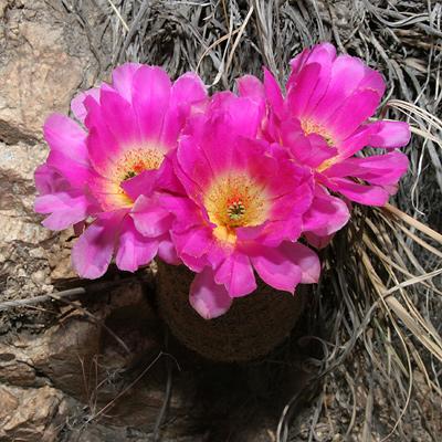 Echinocereus rigidissimus - Rainbow Hedgehog Cactus, Rainbow Cactus (flowers)