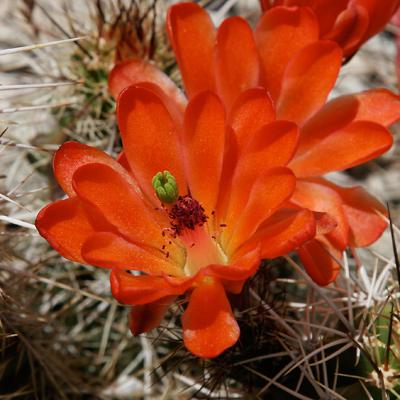 Echinocereus sp. - Claret-cup Cactus, Scarlet Hedgehog Cactus, Crimson Hedgehog Cactus (flower)