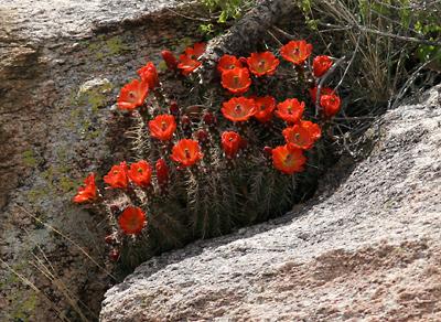 Echinocereus sp. - Claret-cup Cactus, Scarlet Hedgehog Cactus, Crimson Hedgehog Cactus
