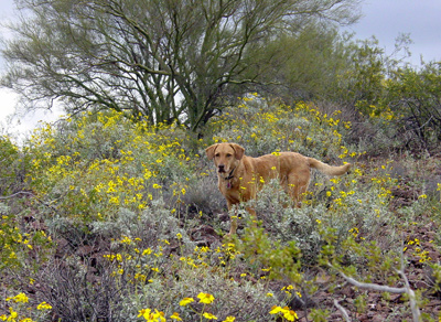 Encelia farinosa - Brittlebush, Goldenhills, Incienso (spring wildflower display with a Chesapeake Bay Retriever)