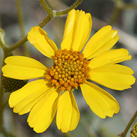 Common Wildflowers - Encelia farinosa – Brittlebush
