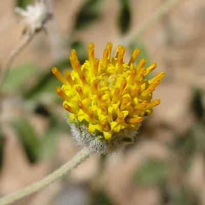 Encelia frutescens - Button Brittlebush, Rayless Encelia