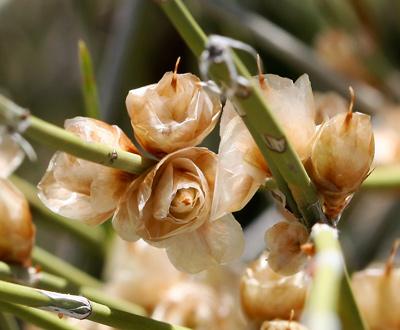 Ephedra trifurca - Longleaf Jointfir, Longleaf Ephedra, Mexican-tea, Longleaf Mormon Tea (seed cones on a female plant)