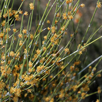 Non-flowering Plants - Ephedra trifurca – Longleaf Jointfir