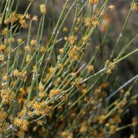 Non-flowering Plants - Ephedra trifurca – Longleaf Jointfir