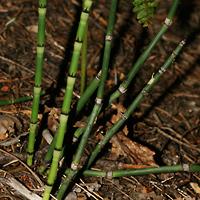 Non-flowering Plants - Equisetum hyemale – Scouringrush Horsetail