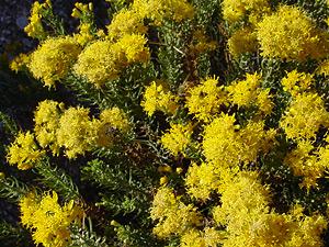 Ericameria laricifolia - Turpentine Bush, Turpentine Brush