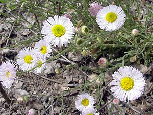 Erigeron divergens - Spreading Fleabane, Layered Daisy