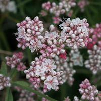 Pink Flowers - Eriogonum fasciculatum – Eastern Mojave Buckwheat
