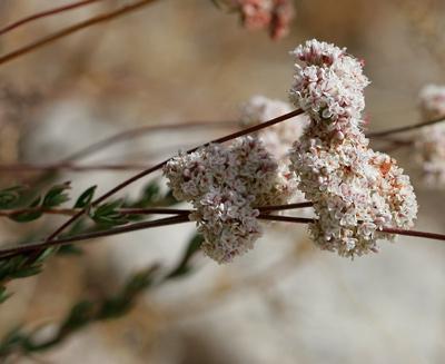 Eriogonum fasciculatum - Eastern Mojave Buckwheat, California Buckwheat