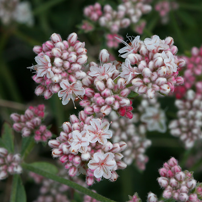Eriogonum fasciculatum - Eastern Mojave Buckwheat, California Buckwheat (pink flowers)