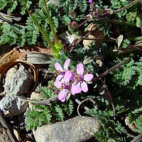 Purple and Blue Flowers - Erodium cicutarium – Redstem Stork's Bill