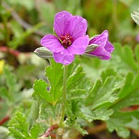 Pink Flowers - Erodium texanum – Texas Stork's Bill