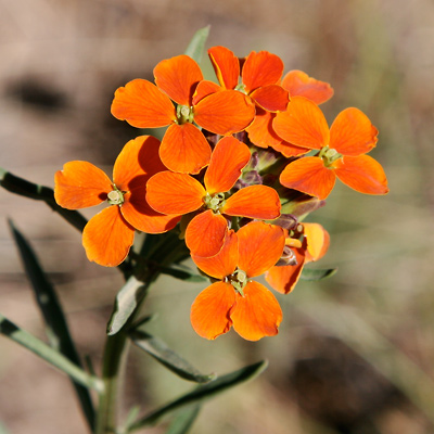 Erysimum capitatum - Sanddune Wallflower, Sand-dune Wallflower, Western Wallflower (orange flowers)