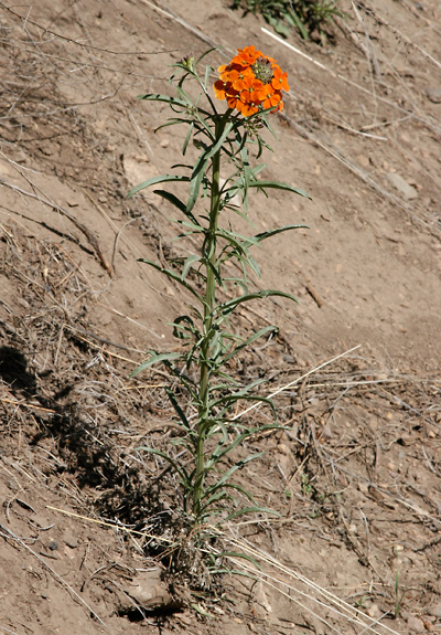 Erysimum capitatum - Sanddune Wallflower, Sand-dune Wallflower, Western Wallflower