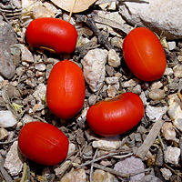 Erythrina flabelliformis - Coralbean, Southwestern Coral Bean (red beans)