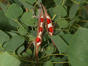 Erythrina flabelliformis - Coralbean, Southwestern Coral Bean (open seedpods)