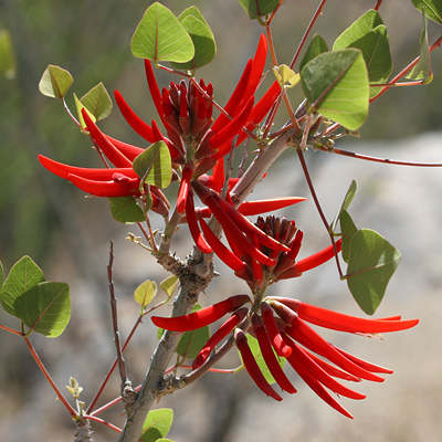 Erythrina flabelliformis - Coralbean, Southwestern Coral Bean (flowers)