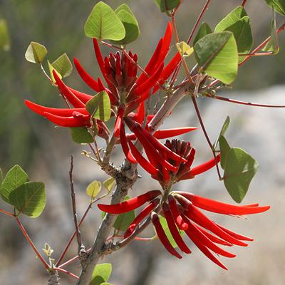 Erythrina flabelliformis - Coralbean, Southwestern Coral Bean (flowers)