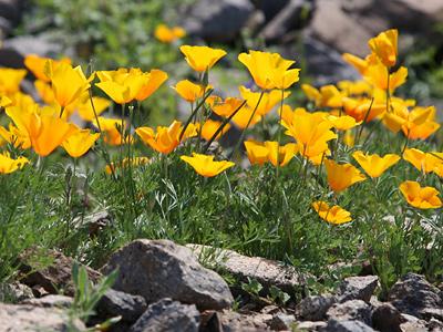 Eschscholzia californica ssp. mexicana - California Poppy, Mexican Gold Poppy