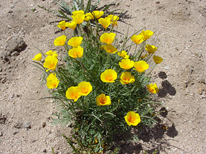 Eschscholzia californica ssp. mexicana - California Poppy, Mexican Gold Poppy