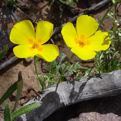 Eschscholzia californica ssp. mexicana - California Poppy, Mexican Gold Poppy (yellow flowers)
