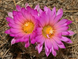 Escobaria vivipara - Spinystar, Beehive Cactus