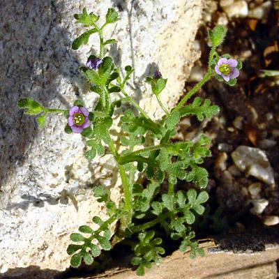 Eucrypta micrantha - Dainty Desert Hideseed, Small-flowered Eucrypta