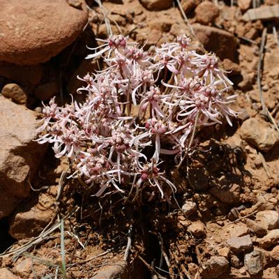 Euphorbia radians - Sun Spurge