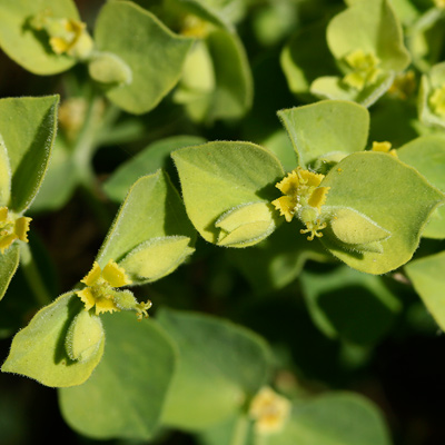 Euphorbia schizoloba - Mojave Spurge (flowers)