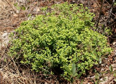 Euphorbia schizoloba - Mojave Spurge