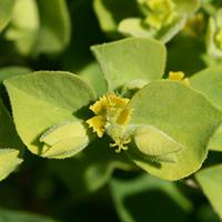 Green Flowers - Euphorbia schizoloba – Mojave Spurge