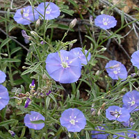 Purple and Blue Flowers - Evolvulus arizonicus – Wild Dwarf Morning-glory