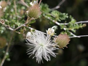 Fallugia paradoxa - Apache Plume (seeds)