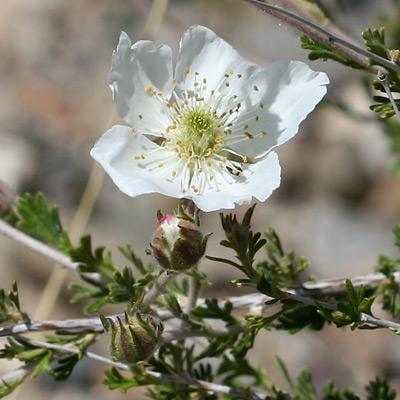Fallugia paradoxa - Apache Plume (flower)