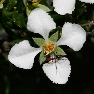Fendlera wrightii - Wright's Fendlerbush, Wright Fendlerbush (flower with ant)
