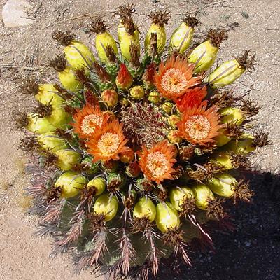 Ferocactus wislizeni - Candy Barrelcactus, Candy Barrel Cactus, Arizona Barrel Cactus, Southwestern Barrel Cactus, Fishhook Barrel Cactus (fruit)