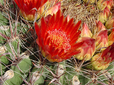 Ferocactus wislizeni - Candy Barrelcactus, Candy Barrel Cactus, Arizona Barrel Cactus, Southwestern Barrel Cactus, Fishhook Barrel Cactus (red flower)