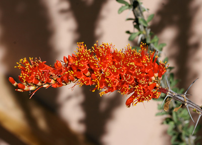 Fouquieria splendens - Ocotillo, Candlewood, Coach Whip, Coachwhip (flowers)